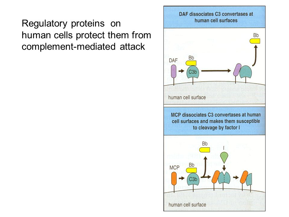 Regulatory proteins on human cells protect them from complement-mediated attack