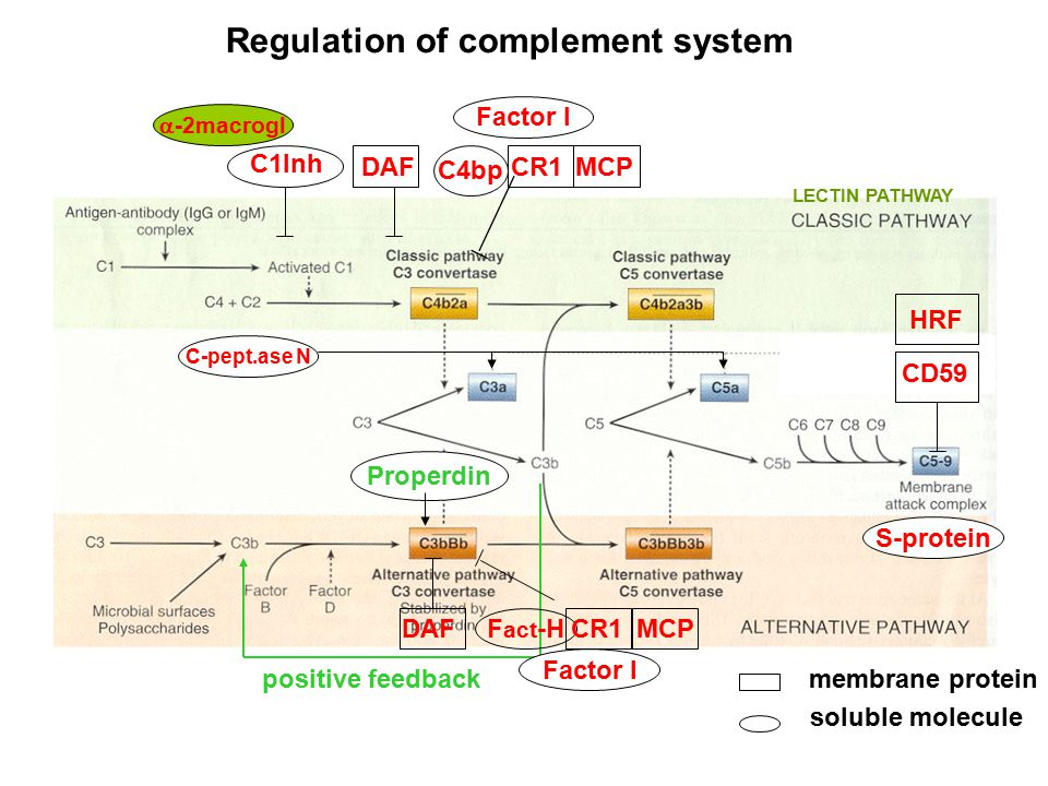 Regulation of complement system