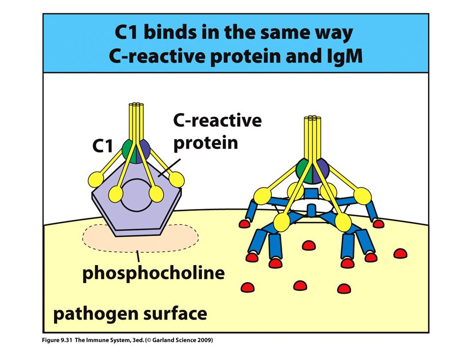 In the innate immune response, the classical pathway of complement activation is initiated by the binding of the C1q component of C1 to the acute-phase protein C-reactive protein, which is a pentamer.