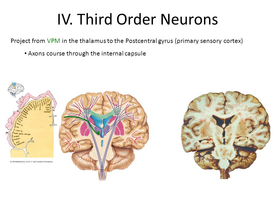IV. Third Order Neurons Project from VPM in the thalamus to the Postcentral gyrus (primary sensory cortex)