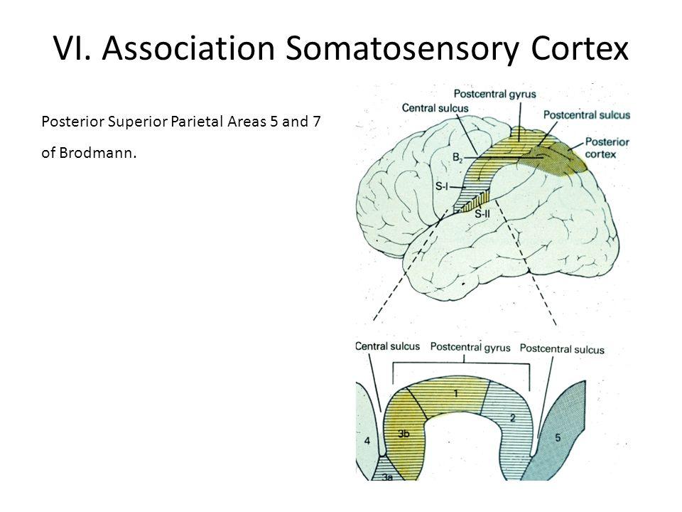 VI. Association Somatosensory Cortex