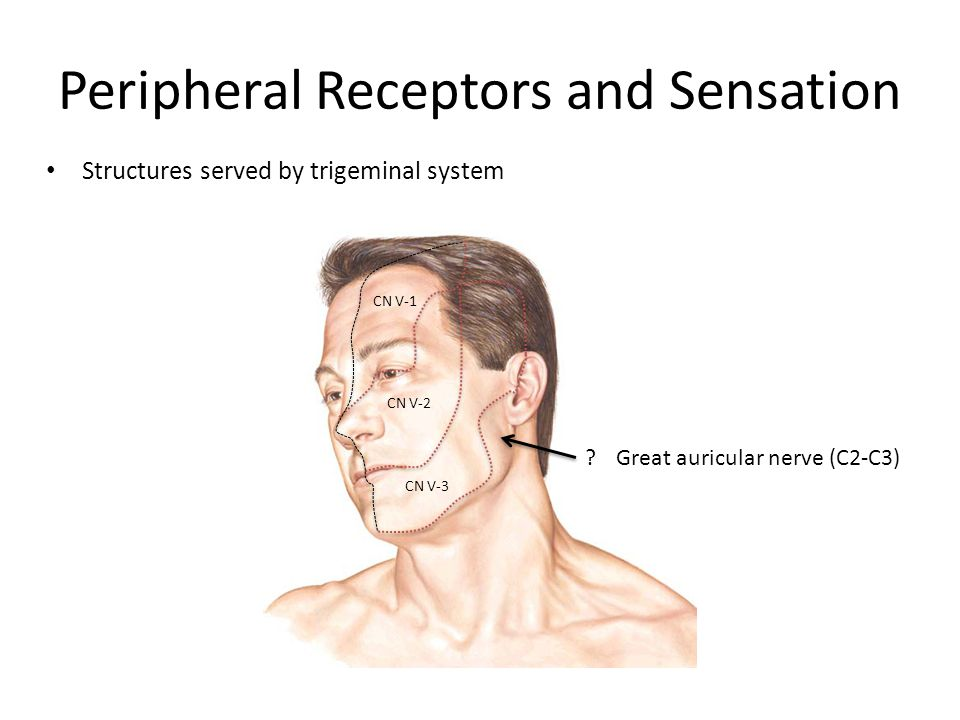 Peripheral Receptors and Sensation