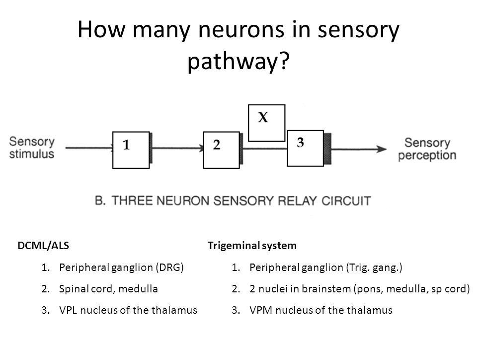 How many neurons in sensory pathway