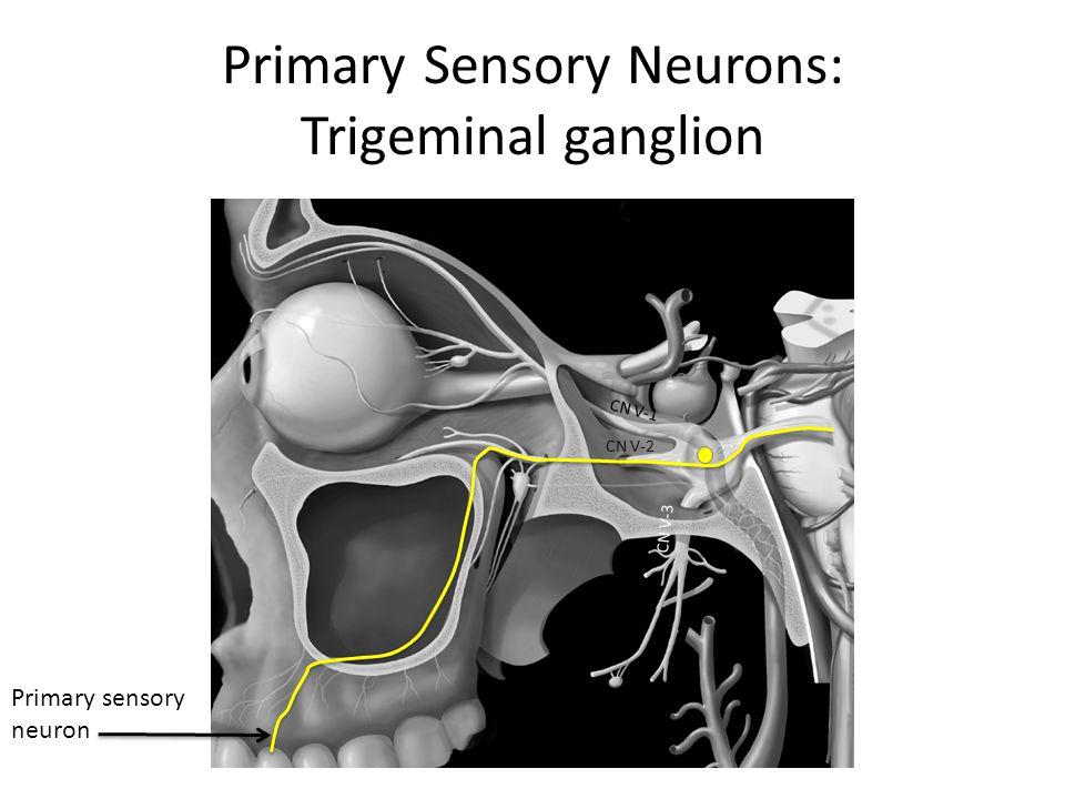 Primary Sensory Neurons: Trigeminal ganglion