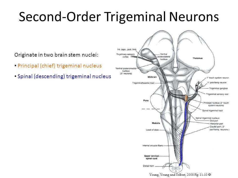 Second-Order Trigeminal Neurons