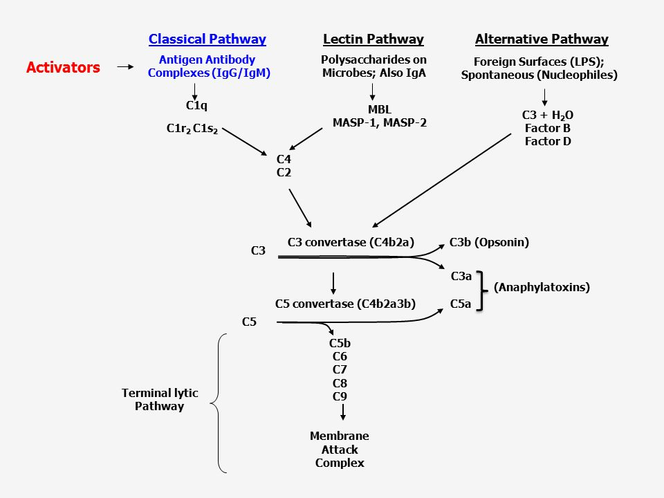 Activators Lectin Pathway Classical Pathway Alternative Pathway MBL