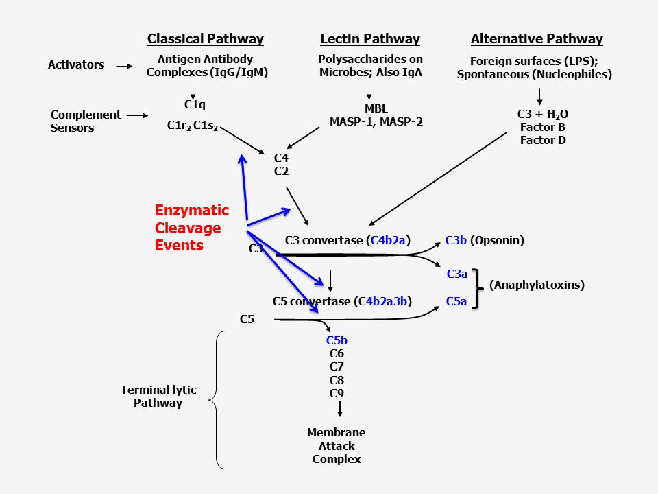 Enzymatic Cleavage Events Lectin Pathway Classical Pathway