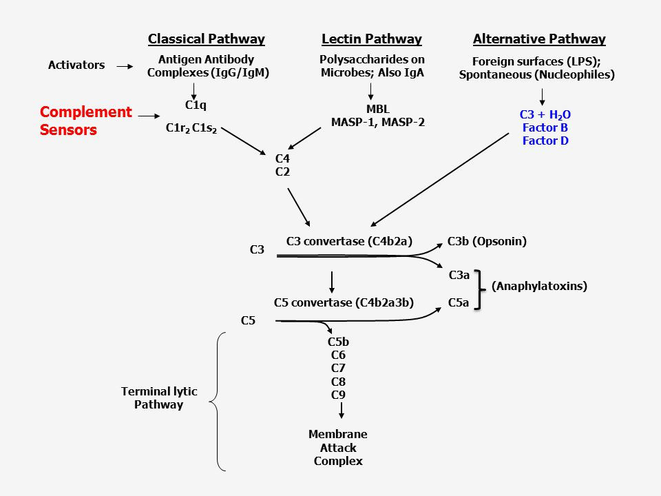 Complement Sensors Lectin Pathway Classical Pathway