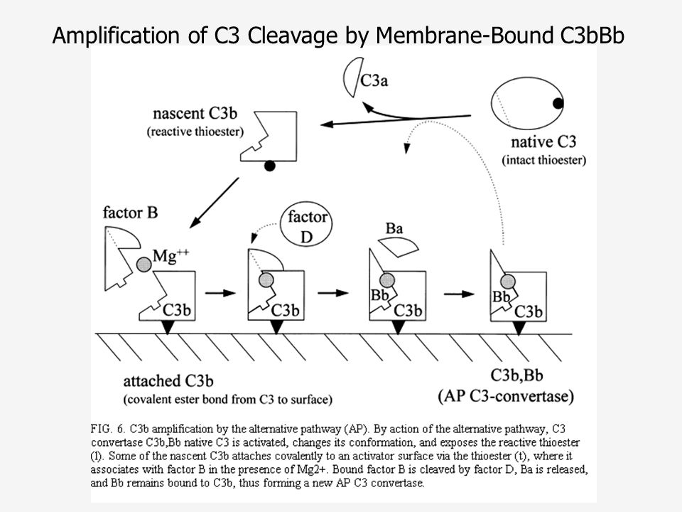 Amplification of C3 Cleavage by Membrane-Bound C3bBb