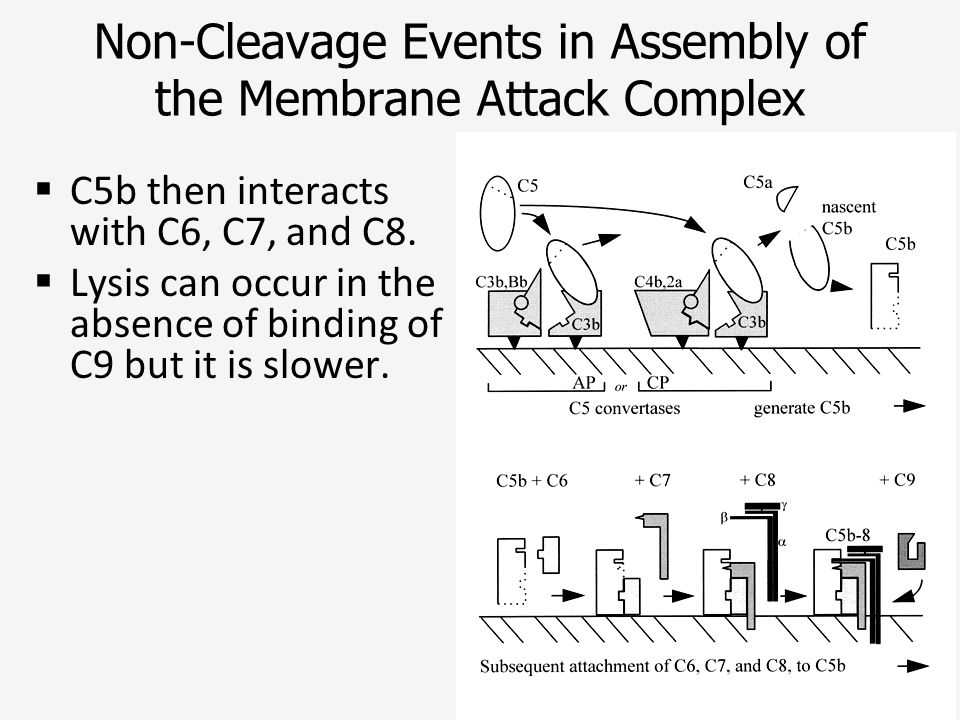 Non-Cleavage Events in Assembly of the Membrane Attack Complex