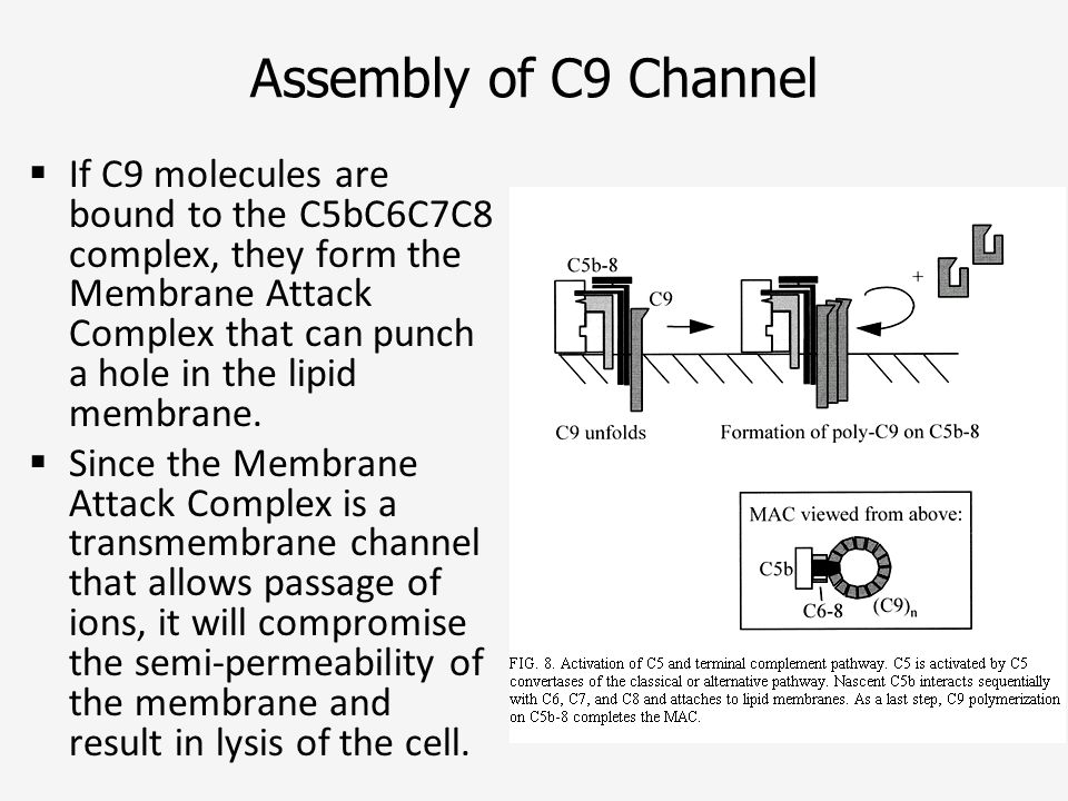 Assembly of C9 Channel