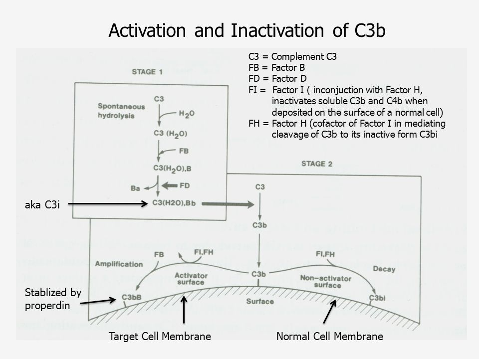 Activation and Inactivation of C3b