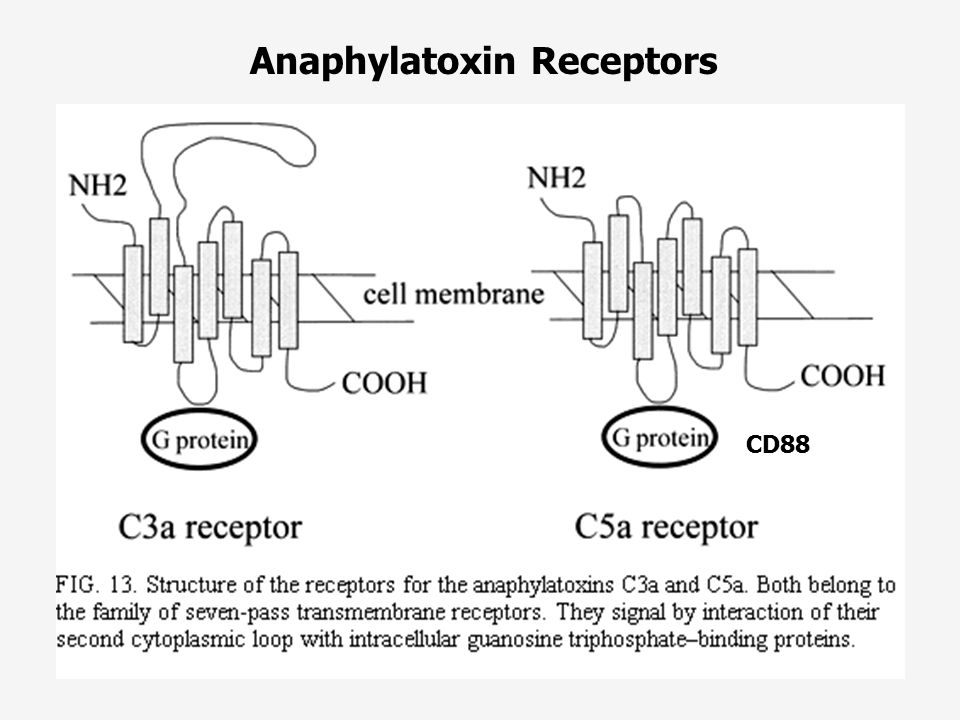 Anaphylatoxin Receptors