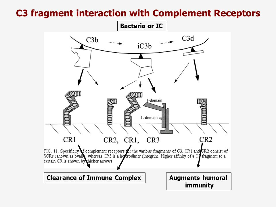 C3 fragment interaction with Complement Receptors