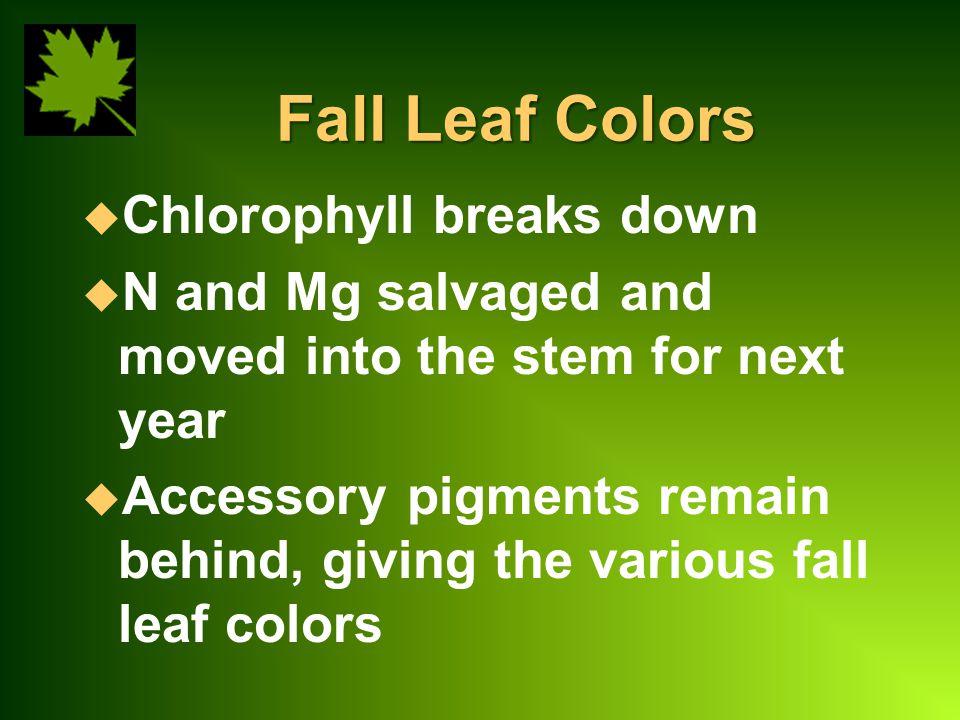Fall Leaf Colors Chlorophyll breaks down