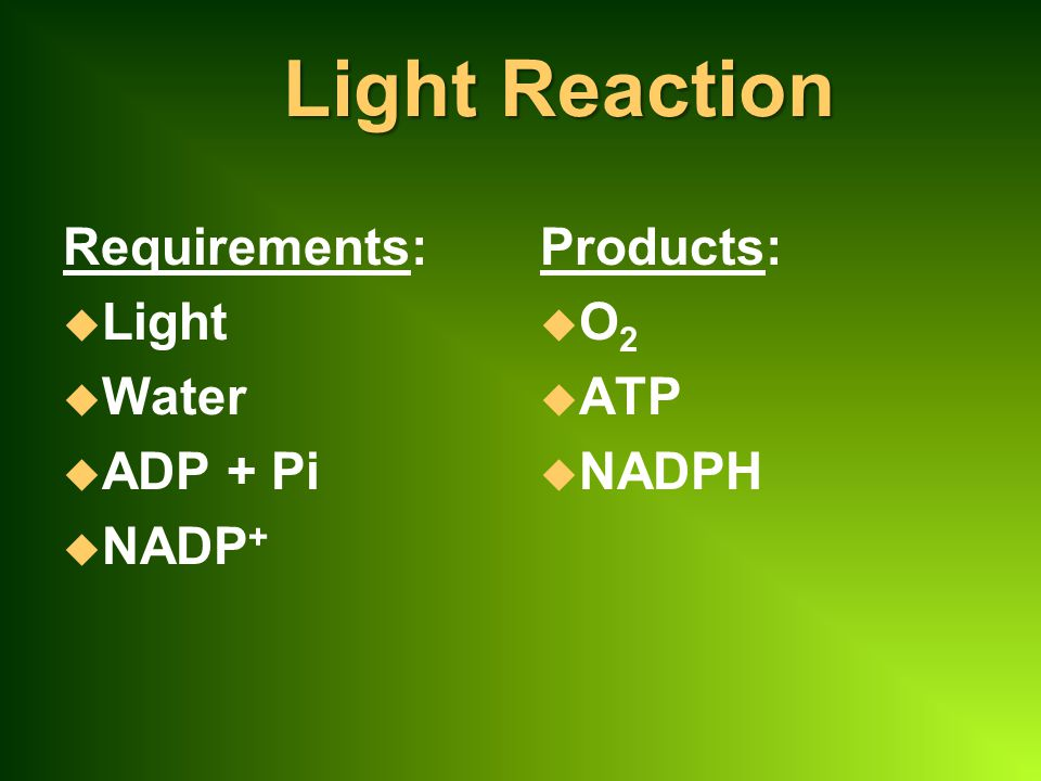 Light Reaction Requirements: Light Water ADP + Pi NADP+ Products: O2