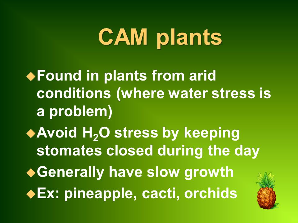 CAM plants Found in plants from arid conditions (where water stress is a problem) Avoid H2O stress by keeping stomates closed during the day.