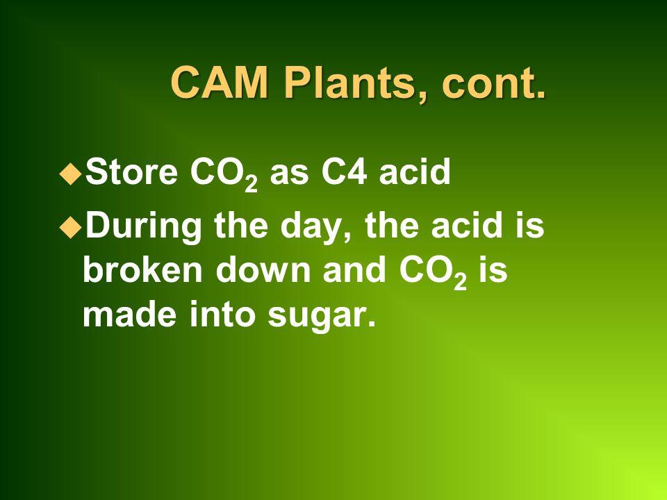 CAM Plants, cont. Store CO2 as C4 acid