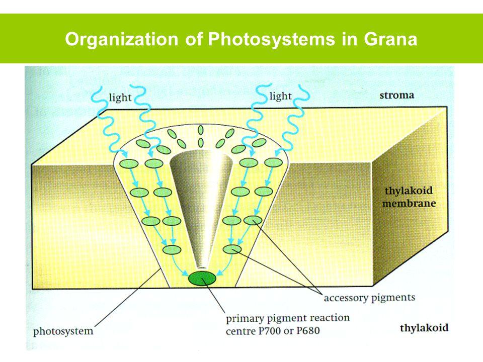 Organization of Photosystems in Grana
