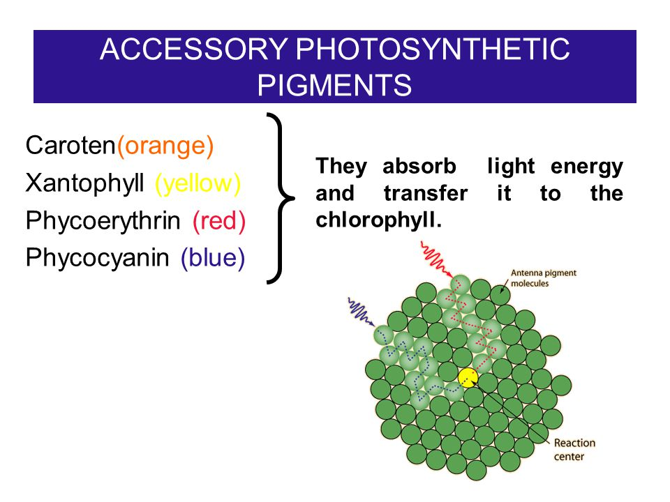 ACCESSORY PHOTOSYNTHETIC PIGMENTS