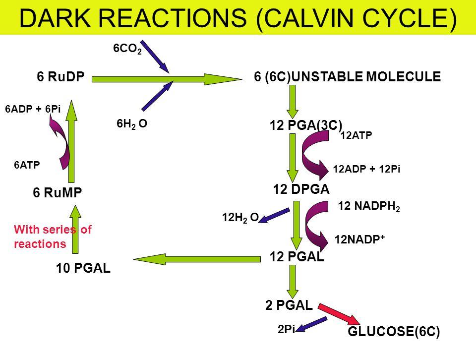 DARK REACTIONS (CALVIN CYCLE)