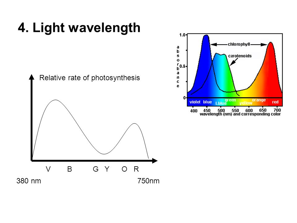 4. Light wavelength Relative rate of photosynthesis V B G Y O R