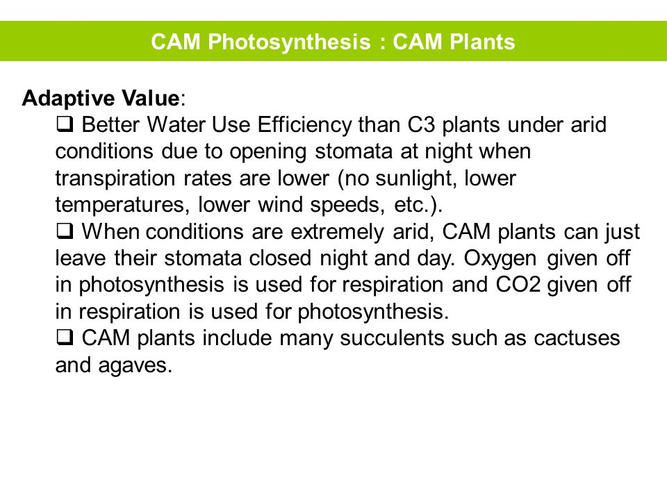 CAM Photosynthesis : CAM Plants