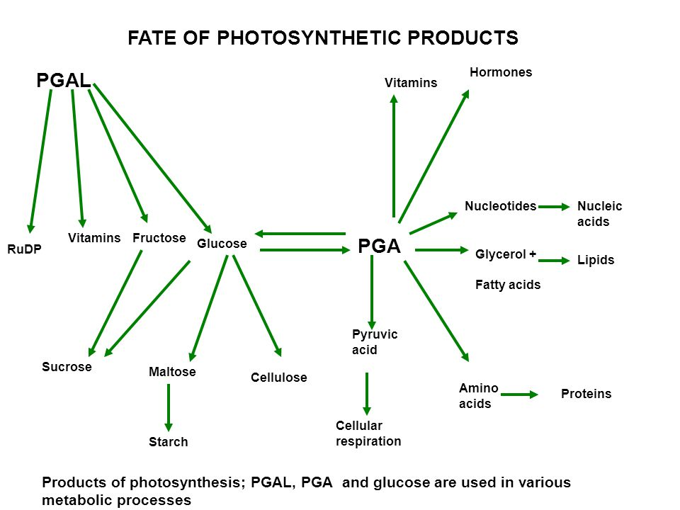 FATE OF PHOTOSYNTHETIC PRODUCTS PGAL