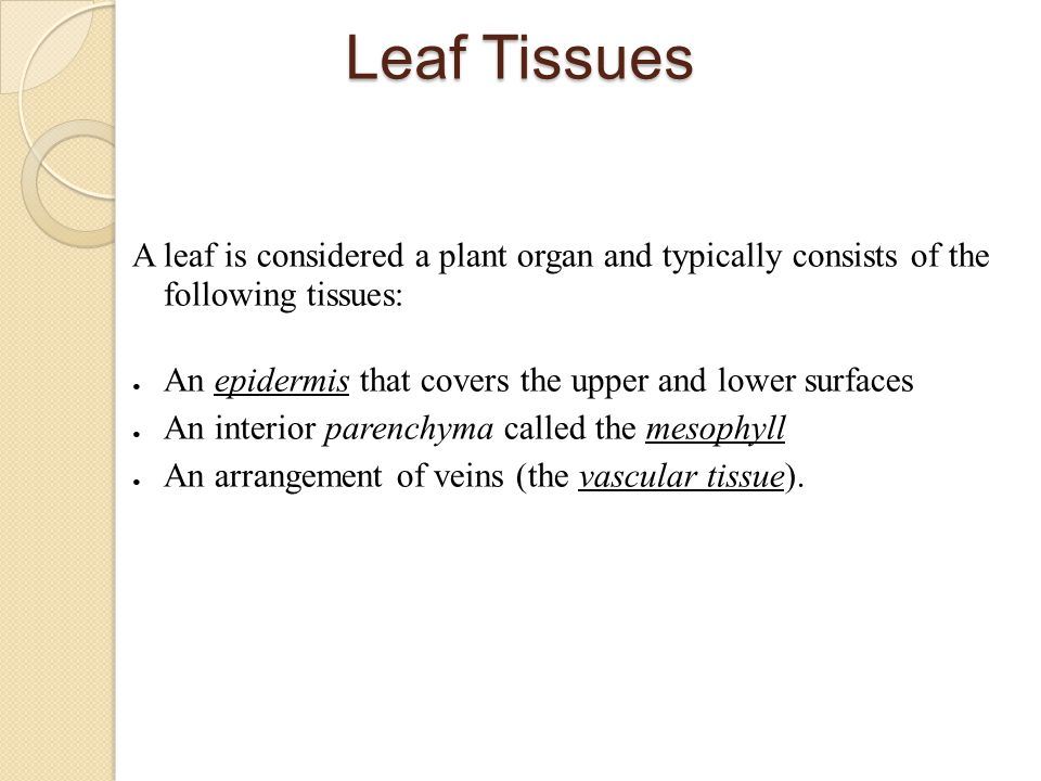 Leaf Tissues A leaf is considered a plant organ and typically consists of the following tissues:
