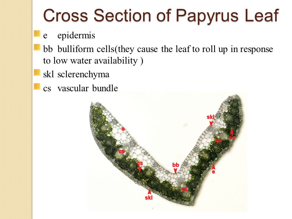 Cross Section of Papyrus Leaf