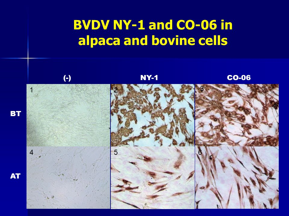 BVDV NY-1 and CO-06 in alpaca and bovine cells