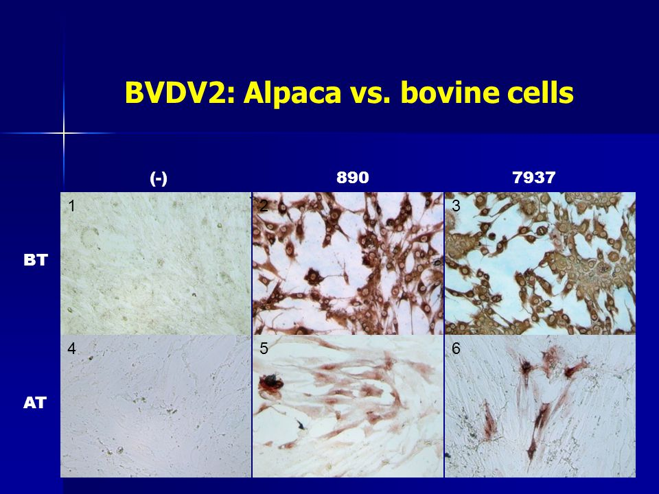 BVDV2: Alpaca vs. bovine cells