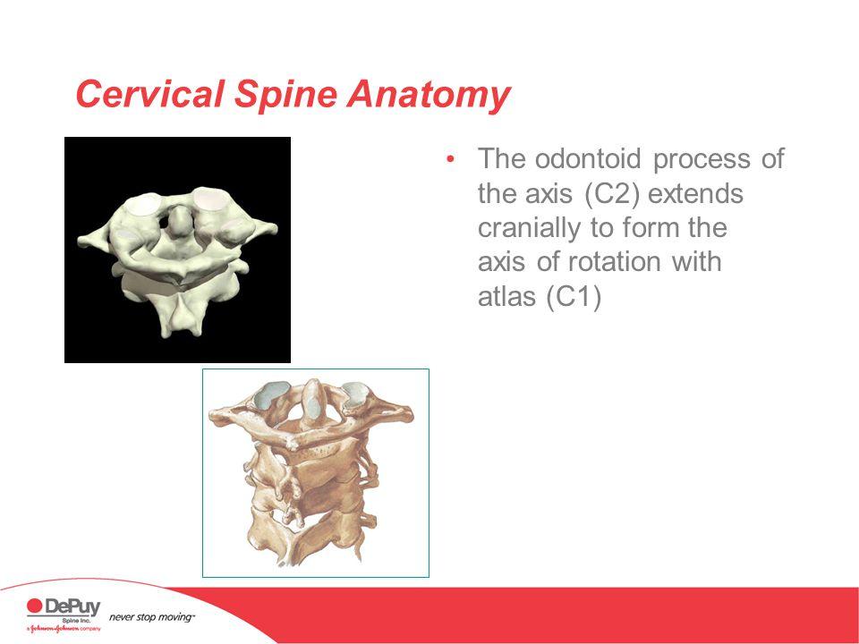 Attractive Atlas C1 Anatomy Embellishment - Human Anatomy Images ...