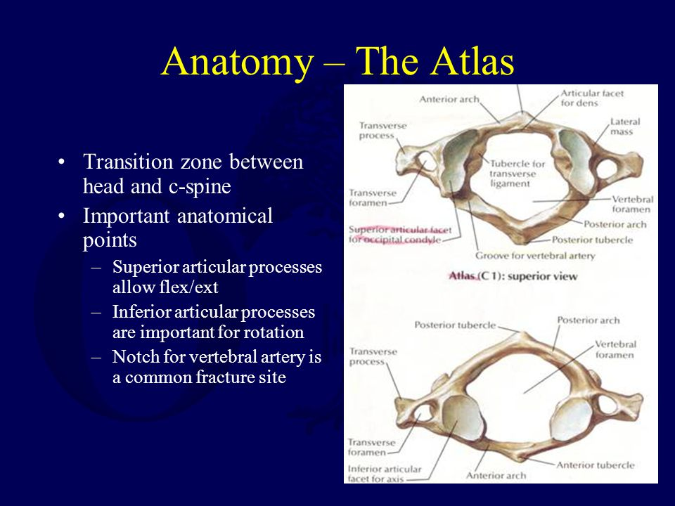 Anatomy – The Atlas Transition zone between head and c-spine