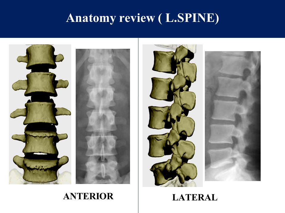 Anatomy review ( L.SPINE)