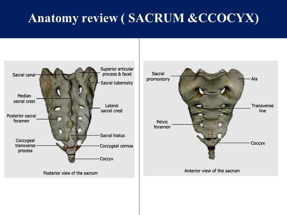 Anatomy review ( SACRUM &CCOCYX)