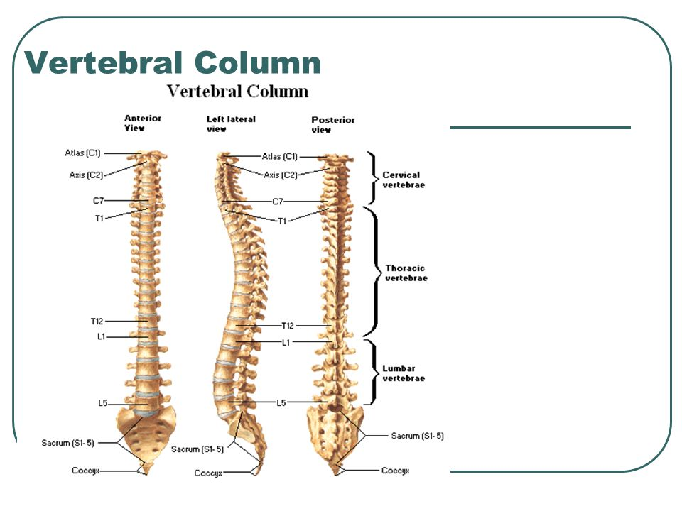 vertebral column. - ppt download, Human Body