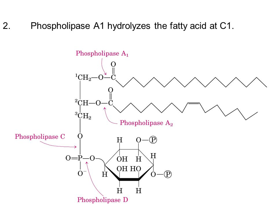 2. Phospholipase A1 hydrolyzes the fatty acid at C1.