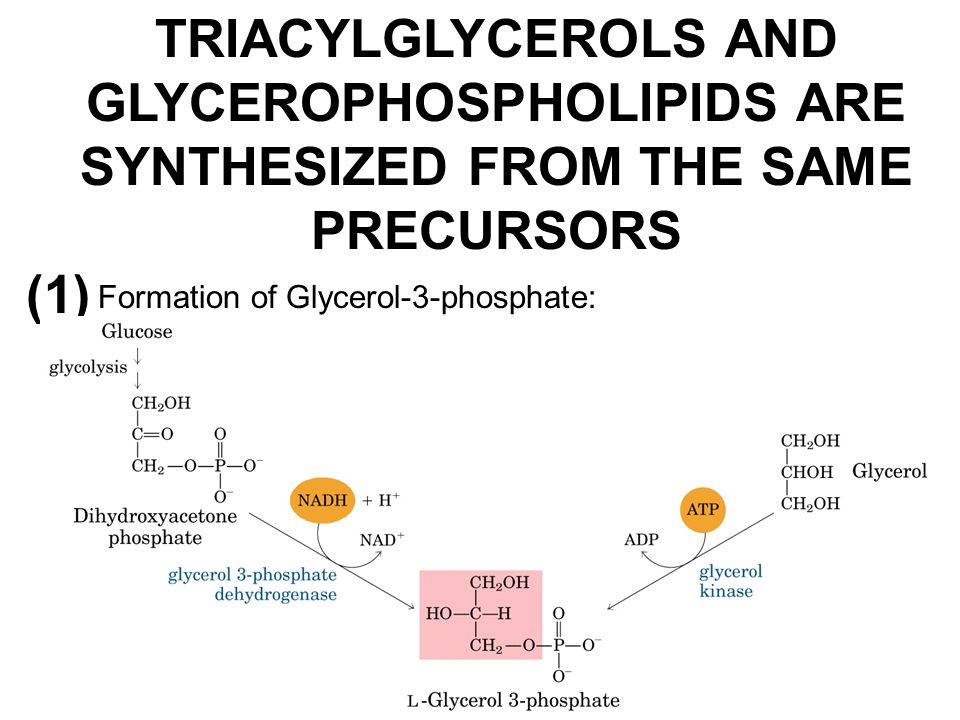 TRIACYLGLYCEROLS AND GLYCEROPHOSPHOLIPIDS ARE SYNTHESIZED FROM THE SAME PRECURSORS