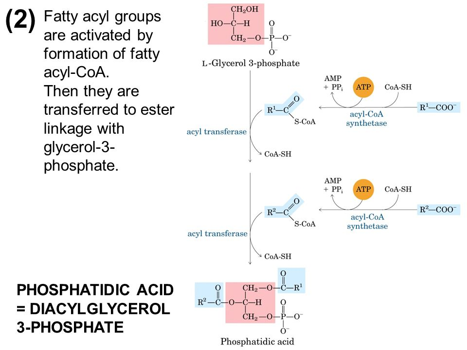 (2) Fatty acyl groups are activated by formation of fatty acyl-CoA.