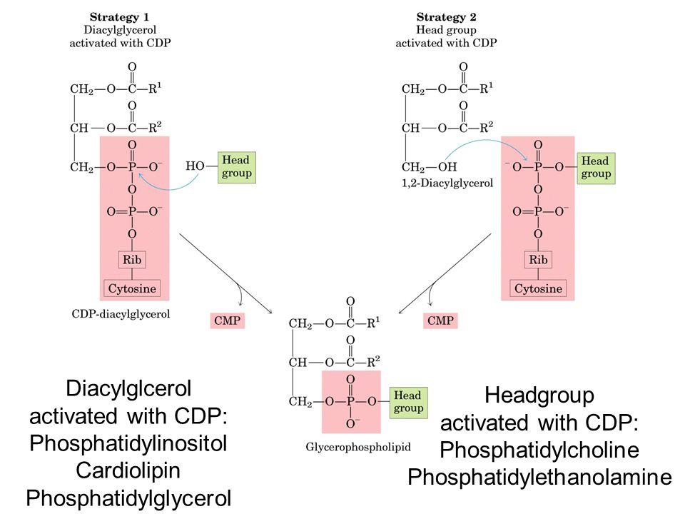 Phosphatidylinositol Cardiolipin Phosphatidylglycerol Headgroup