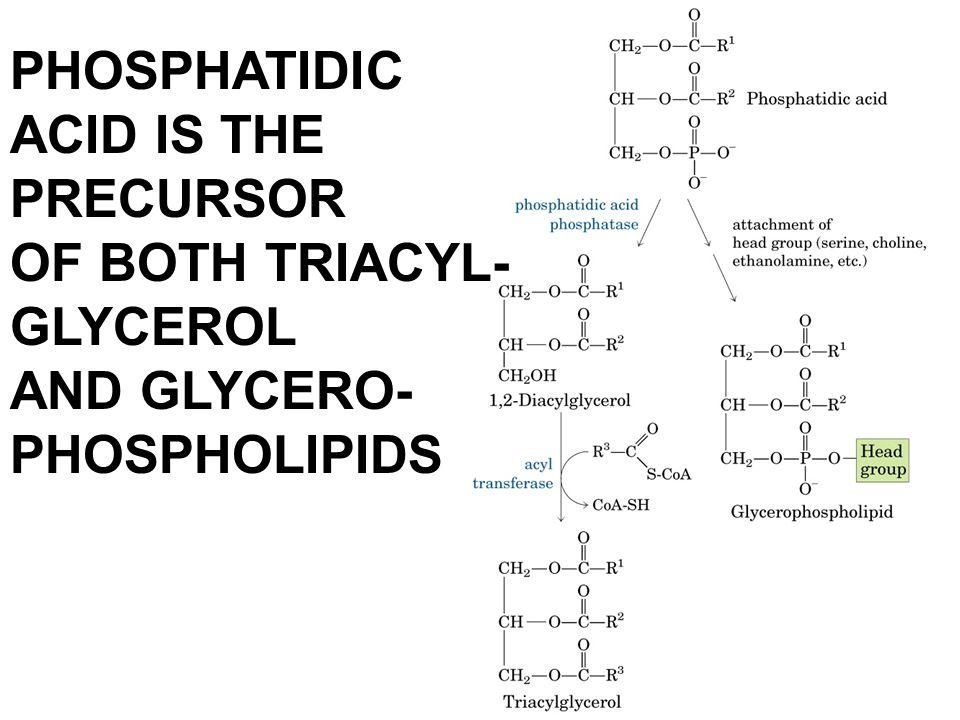 PHOSPHATIDIC ACID IS THE PRECURSOR