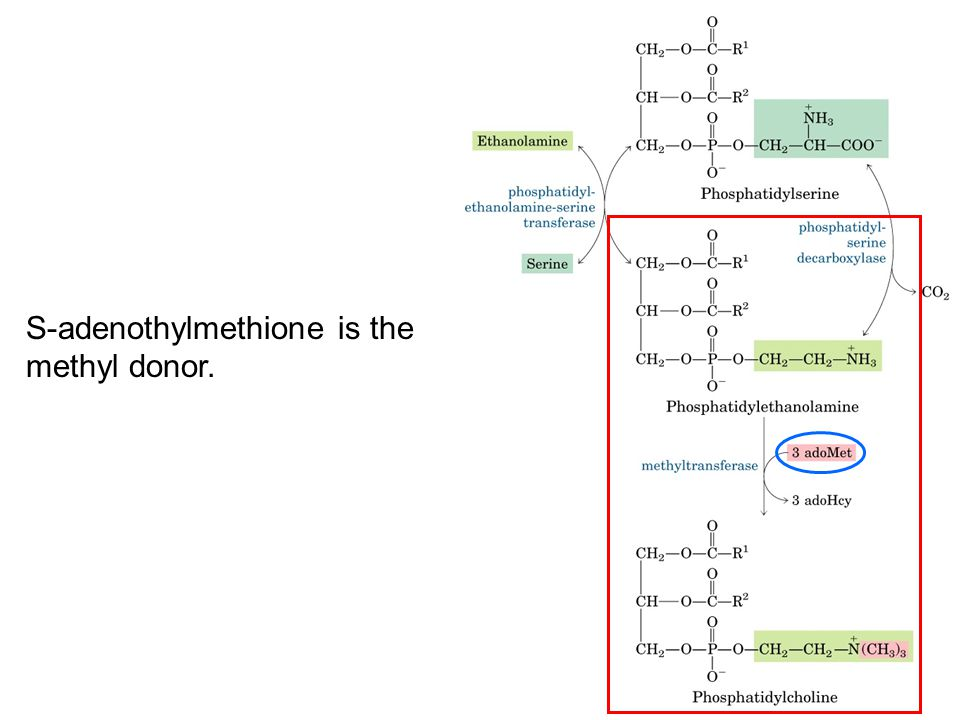 S-adenothylmethione is the methyl donor.