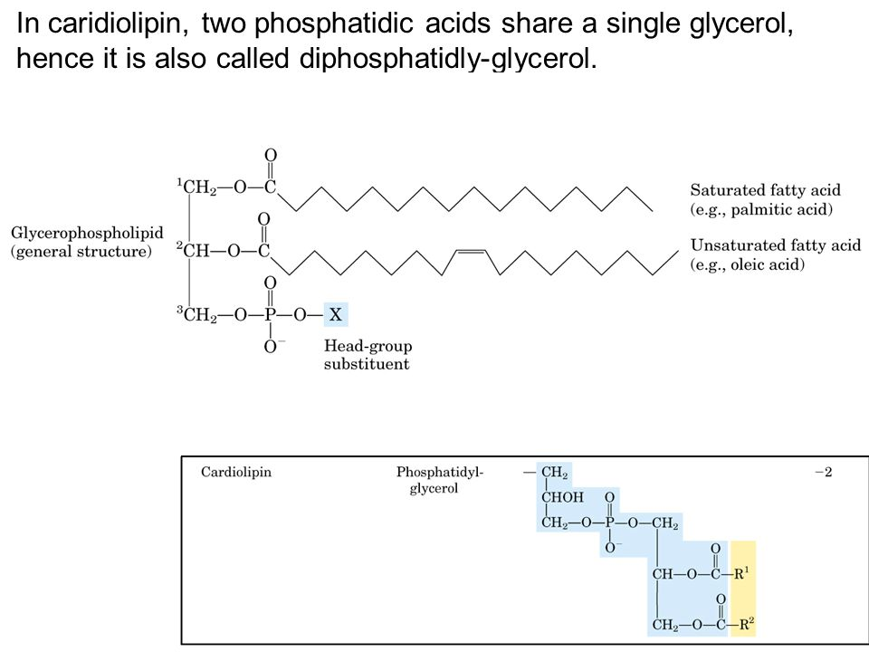 In caridiolipin, two phosphatidic acids share a single glycerol, hence it is also called diphosphatidly-glycerol.