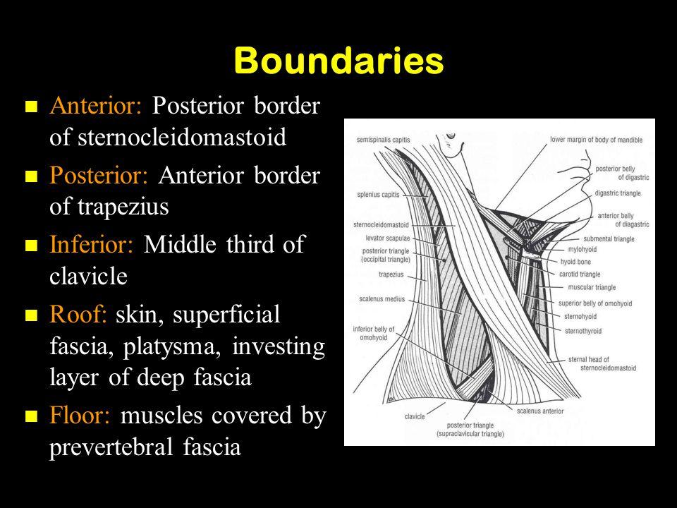 Boundaries Anterior: Posterior border of sternocleidomastoid