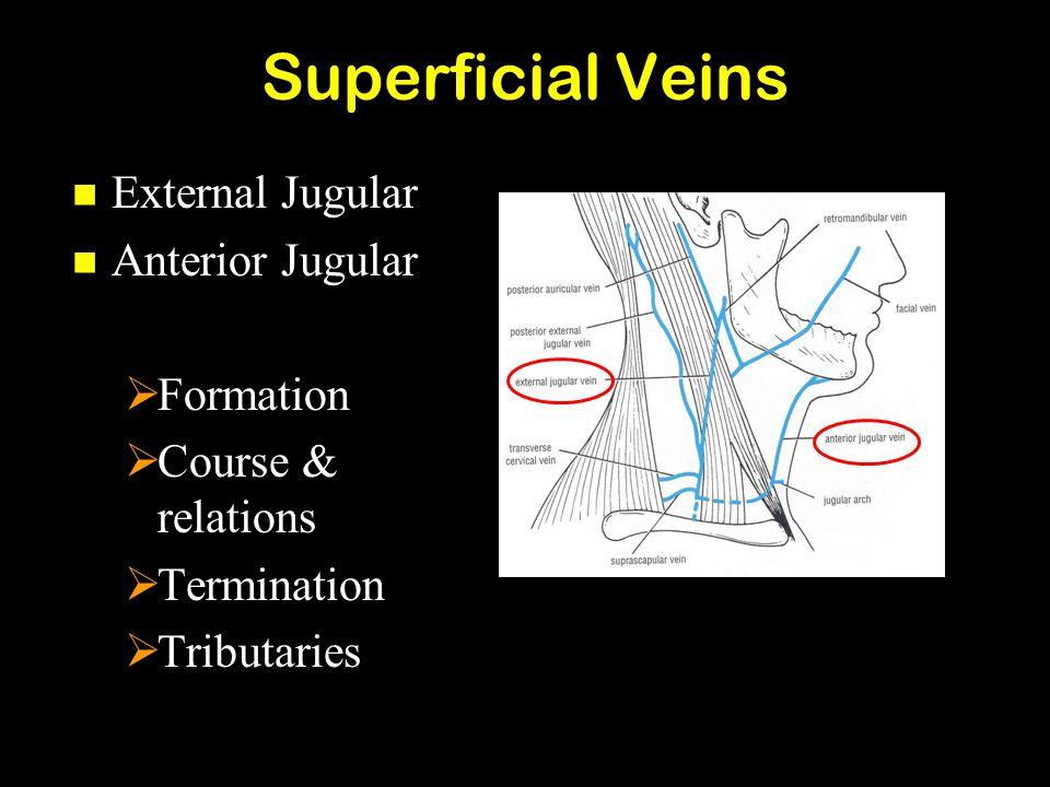 Superficial Veins External Jugular Anterior Jugular Formation