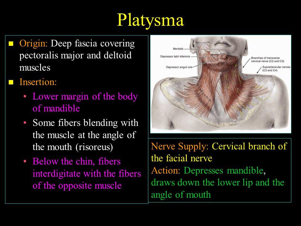 Platysma Origin: Deep fascia covering pectoralis major and deltoid muscles. Insertion: Lower margin of the body of mandible.