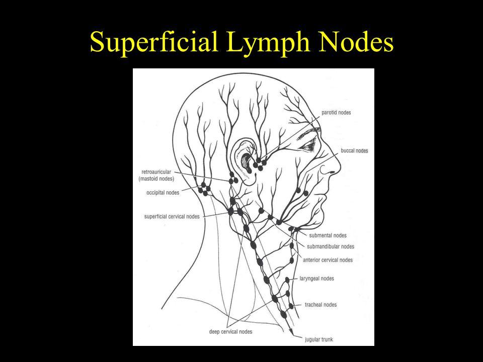 Superficial Lymph Nodes
