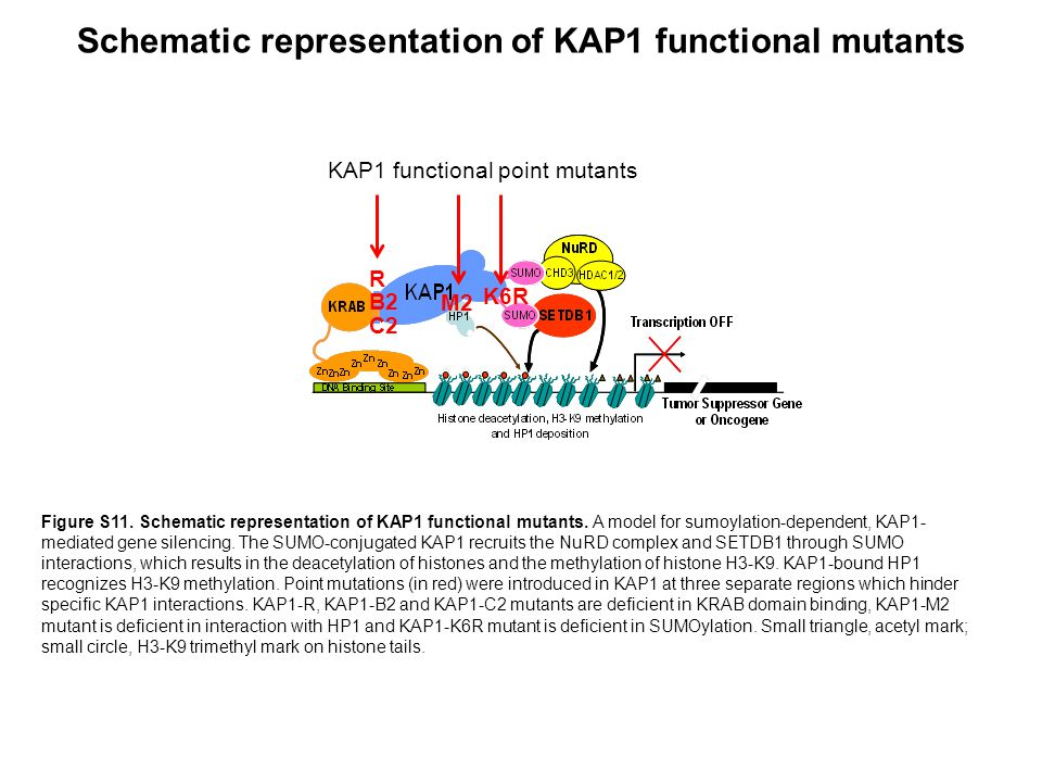 Schematic representation of KAP1 functional mutants