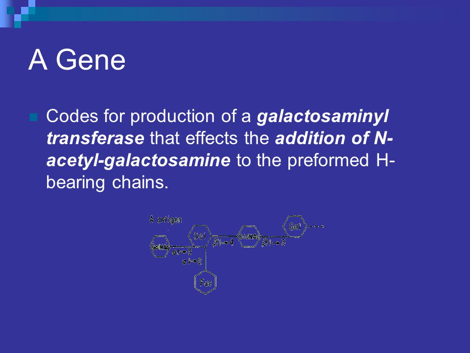 A Gene Codes for production of a galactosaminyl transferase that effects the addition of N-acetyl-galactosamine to the preformed H-bearing chains.